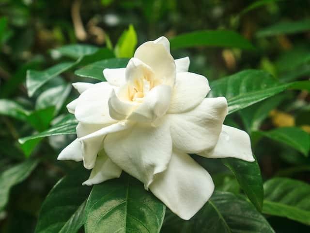Garden Centre - Gardenia Florida