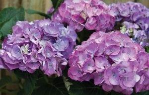 Hydrangeas - Diaco's Garden Nursery and Garden Center