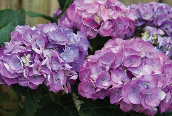 Hydrangeas - Diaco's Garden Nursery and Garden Center