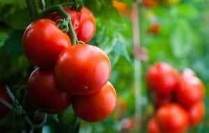 Diaco's Garden Nursery - Tomatoes
