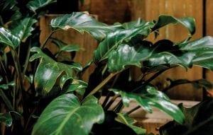 Indoor Plants - Diaco's Garden Centre and Garden Nursery