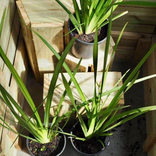 Dietes Grandiflora - Wild Iris