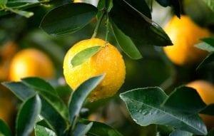 We Love Citrus - Diaco's Garden Centre and Garden Nursery