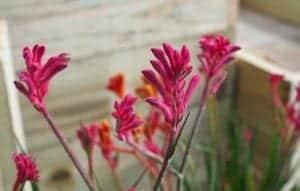 We Love Kangaroo Paws - Diaco's Garden Centre and Garden Nursery