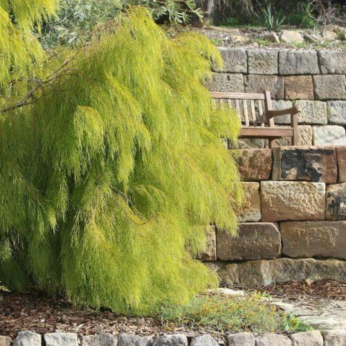 Acacia Lime Magik