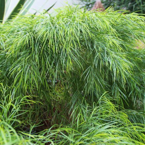 Acacia Minicog