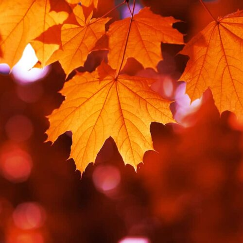 Acer Rubrum - Canadian Maple