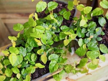 Ficus Pumila - Climbing Fig 1