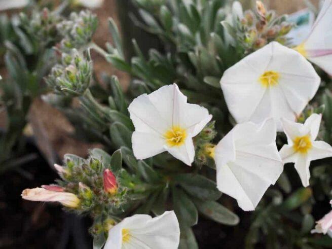 Convolvulus Cneorum - Silver Bush