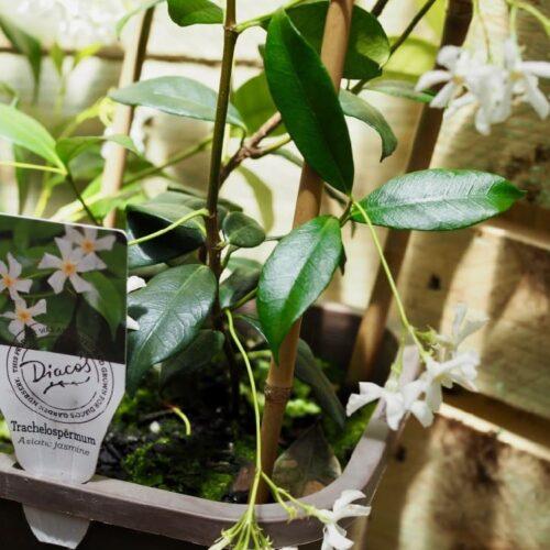 Trachelospermum jasminoides - Chinese Star Jasmine 1