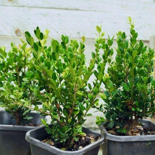 Buxus Microphylia - Japanese box