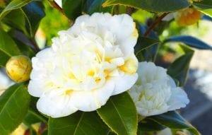 We Love Camellias