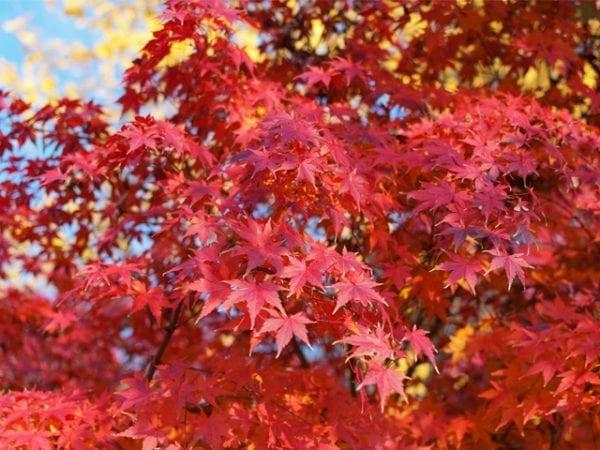 Acer Palmatum - Japanese Maple