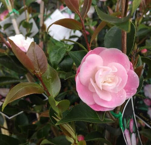 Camellia Sweet Jane