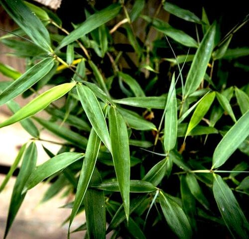 Bamboo Fargesia Fortune