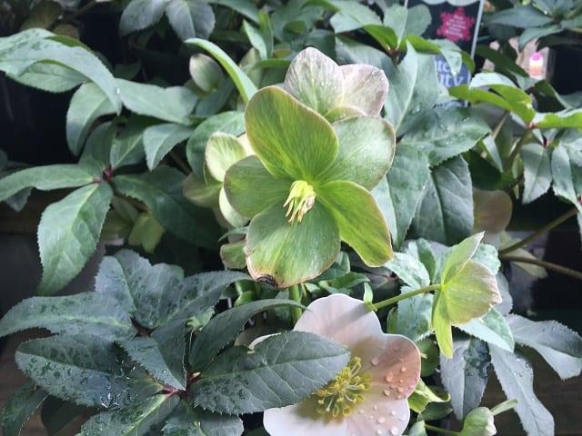Helleborus Winter Beauty