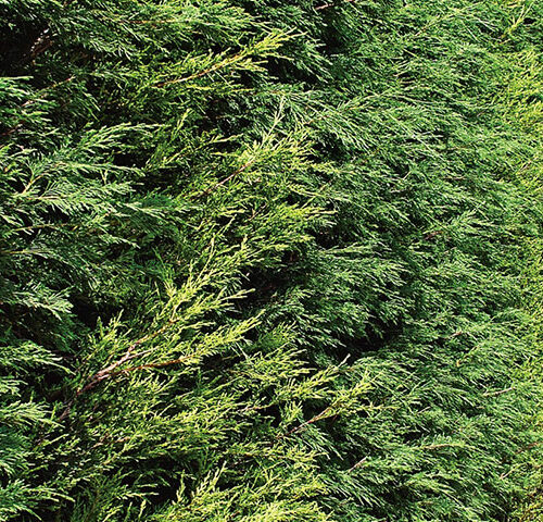 Cupressus Leylandii - Castlewellan Gold