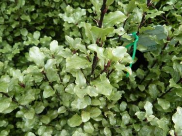 Pittosporum Screen Master
