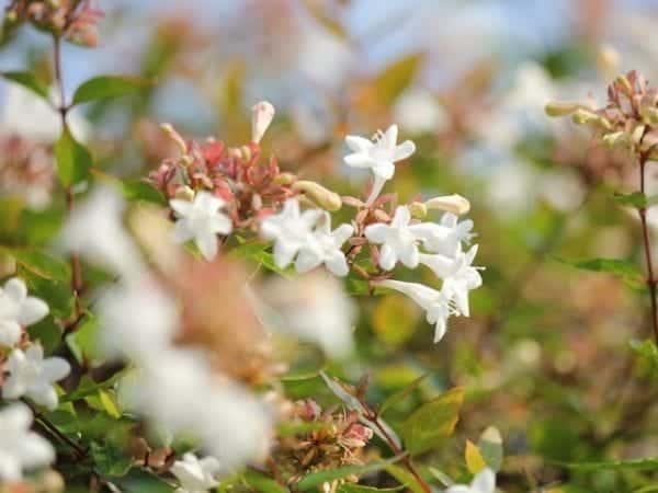 Abelia Grandiflora Dwarf