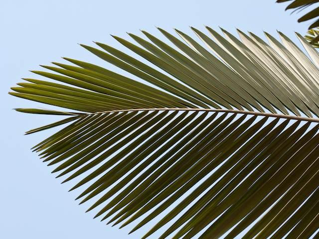 Archontophoenix Alexandrae - Alexandra Palm