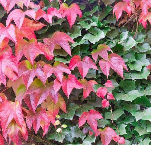 Parthenocissus Tricuspidata - Boston Ivy