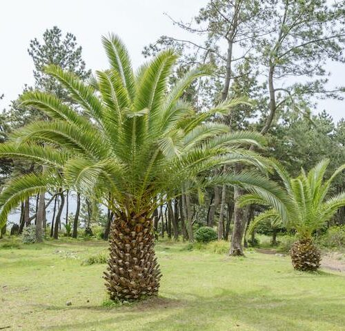 Phoenix Canariensis - Canary Island Date Palm