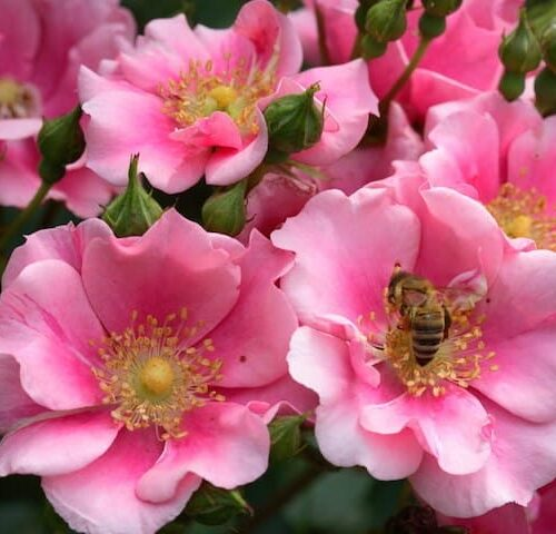 Rose Flower Carpet