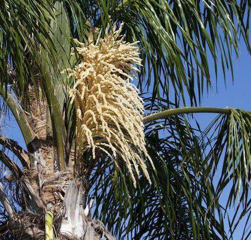 Syagrus Romanzoffiana - Coco Palm