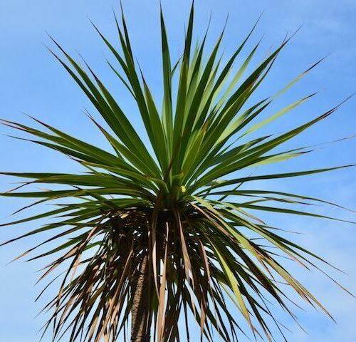 Cordyline Australis - Cabbage Tree