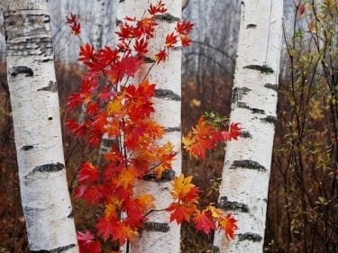 Betula dalecarlica - Birch Cut Leaf