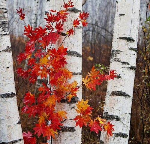 Betula dalecarlica - Birch Cut Leaf