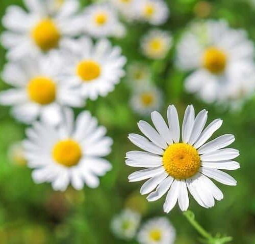 Argyranthemum - Daisy