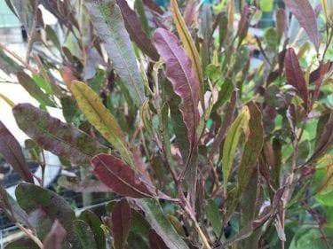 Dodonaea Viscosa - Purple Hop Bush