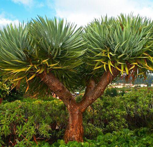 Dracaena Draco - Dragon Tree