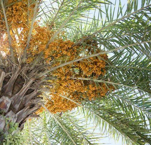 Phoenix Roebelenii - Dwarf Date Palm