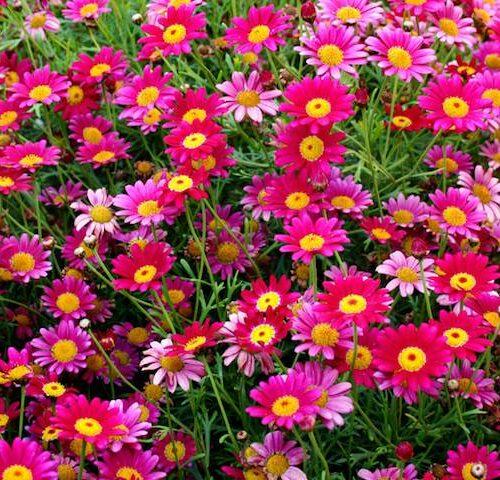 Argyranthemum Federation Daisy