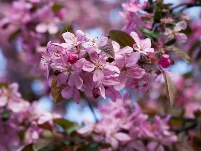 Prunus Nigra - Black Flowering Plum
