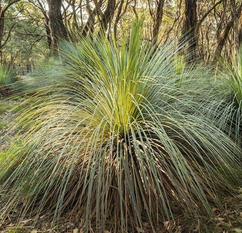Xanthorrhoea - Grass Tree