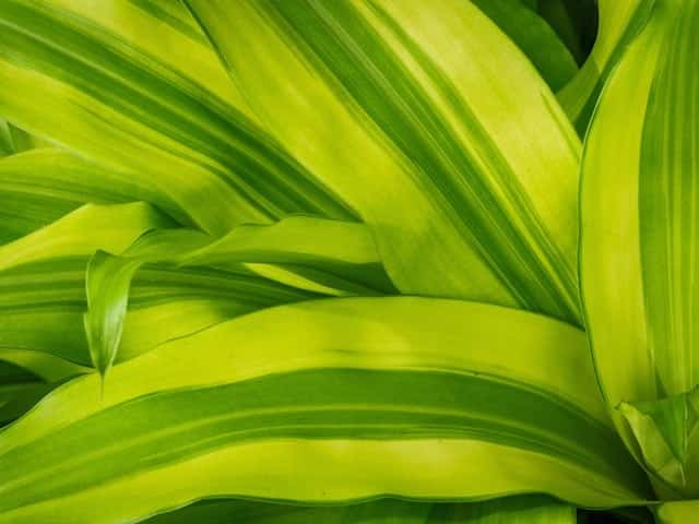 Dracaena Fragrans - Happy Plant