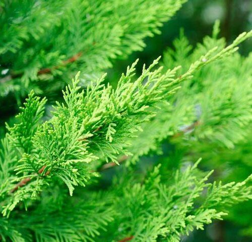 Cupressocyparis Leylandii - Leighton Green