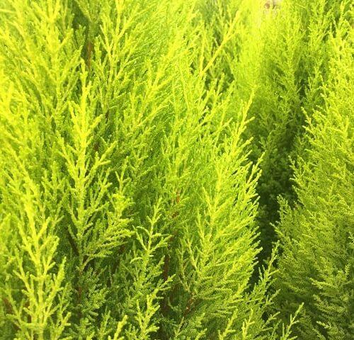 Cupressus Macrocarpa - Lemon Aroma