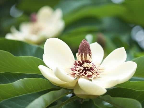Magnolia White Caviar