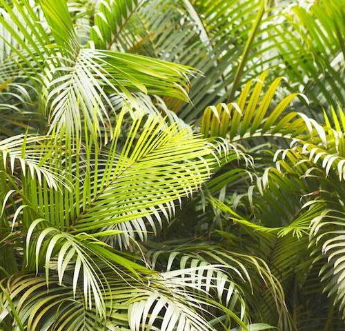 Ravenea Rivularis - Majestic Palm