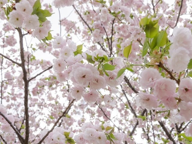 Prunus Mt Fuji - Flowering Cherry