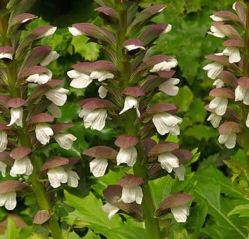 Acanthus Mollis - Oyster Plant