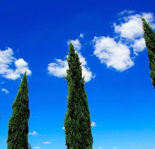 Cupressus Sempervirens Glauca - Pencil Pine