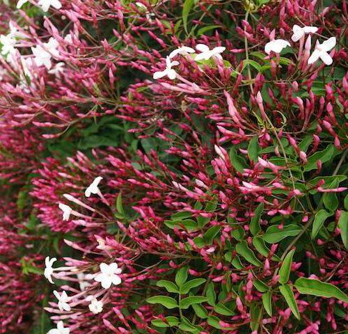 Jasminum Polyanthum - Pink Jasmine