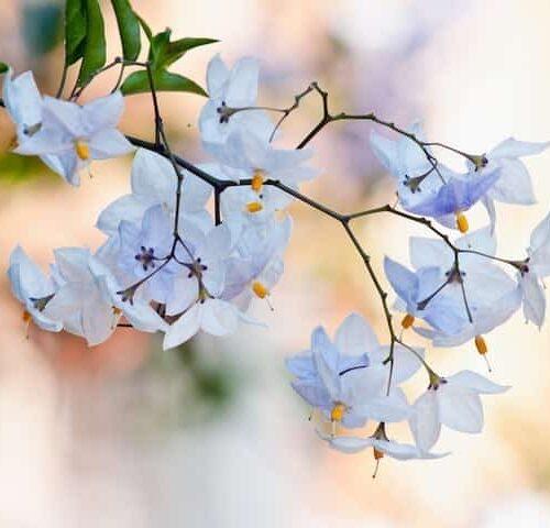 Solanum Jasminoides - Potato Vine