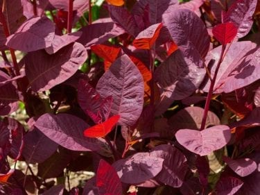 Cotinus Coggygria - Smoke Bush