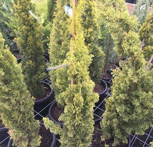 Cupressus Sempervirens Swane's Gold - Golden Pencil Pine